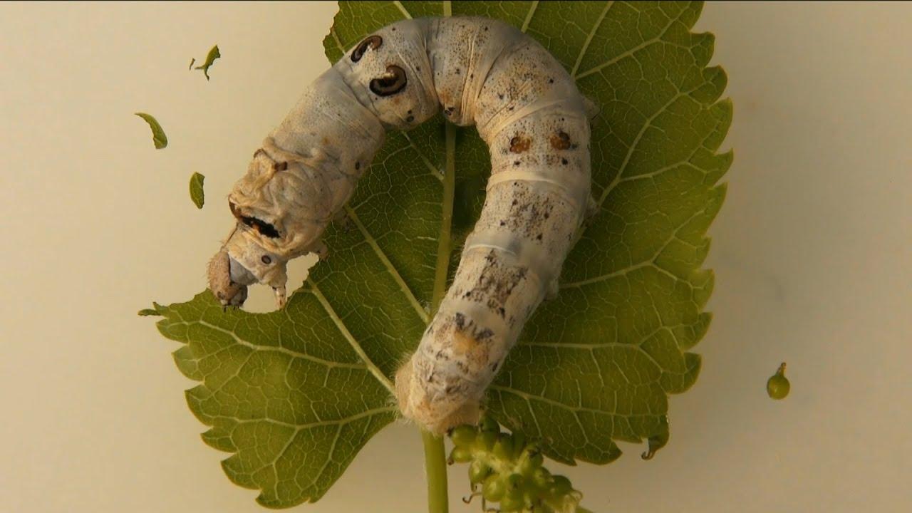 los gusanos de seda tienen ojos