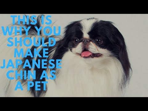 This Is Why You Should Make Japanese Chin As A Pet|