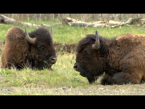 Bison makes comeback at Yellowstone National Park