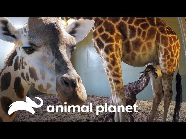 El increíble parto de una bebé jirafa | Los Irwin | Animal Planet