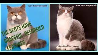 Scottish vs British Cats what difference before them Шотландские и Британские кошки разница