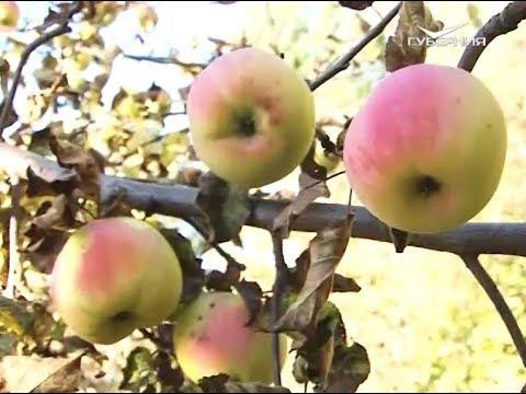 Удачные заметки. Убираем поздние сорта яблок