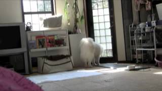 Samoyed Girls and cats look after the house.