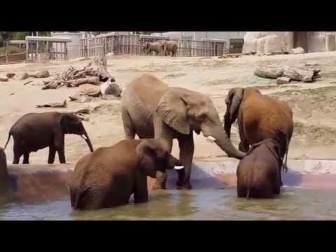 Elephant social behavior