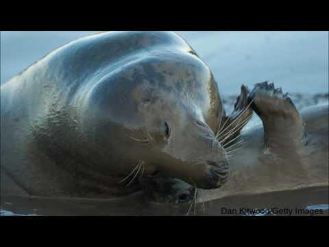 Bob Duchesne's Wild Maine, Dec  3, 2016: Grey Seals in Maine?