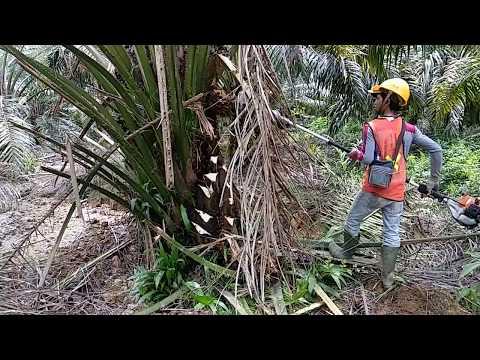 Pruning Dengan Mesin Dodos Untuk Pohon Rendah