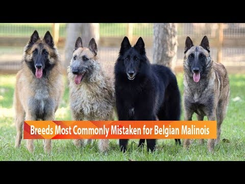 Dog Breeds Commonly Mistaken for Belgian Malinois
