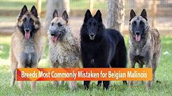 Dog Breeds Commonly Mistaken for Belgian Malinois