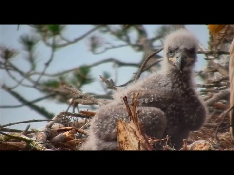 Smola Norway Eagles Nest Cam ~ Industrious Solo Discovers Sticks; Cuteness Overload 5.14.17