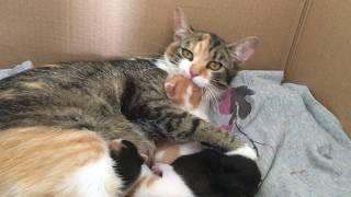 Mom cat biting her crying baby kitten