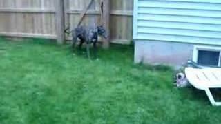 Greyhound & Pug
