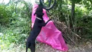 Pitbull Dog Hanging On Tire Swing