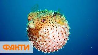 Из-за загрязнения морей Японии начала мутировать рыба Фугу