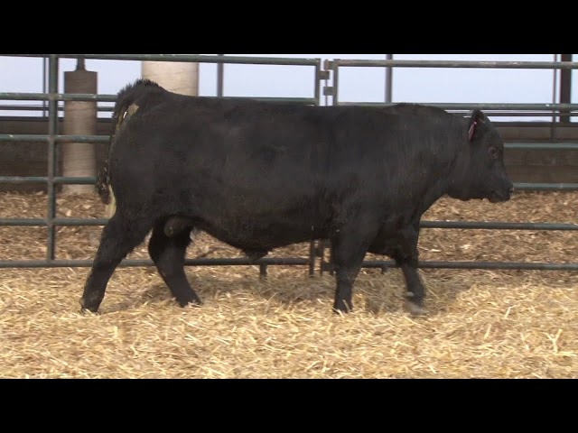 Schiefelbein Angus Farms Lot 43