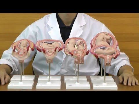 妊娠1ヶ月からの子宮と胎児の発育過程を確認できる模型セット│L10