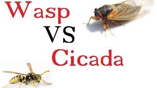 Wasp Vs. Cicada