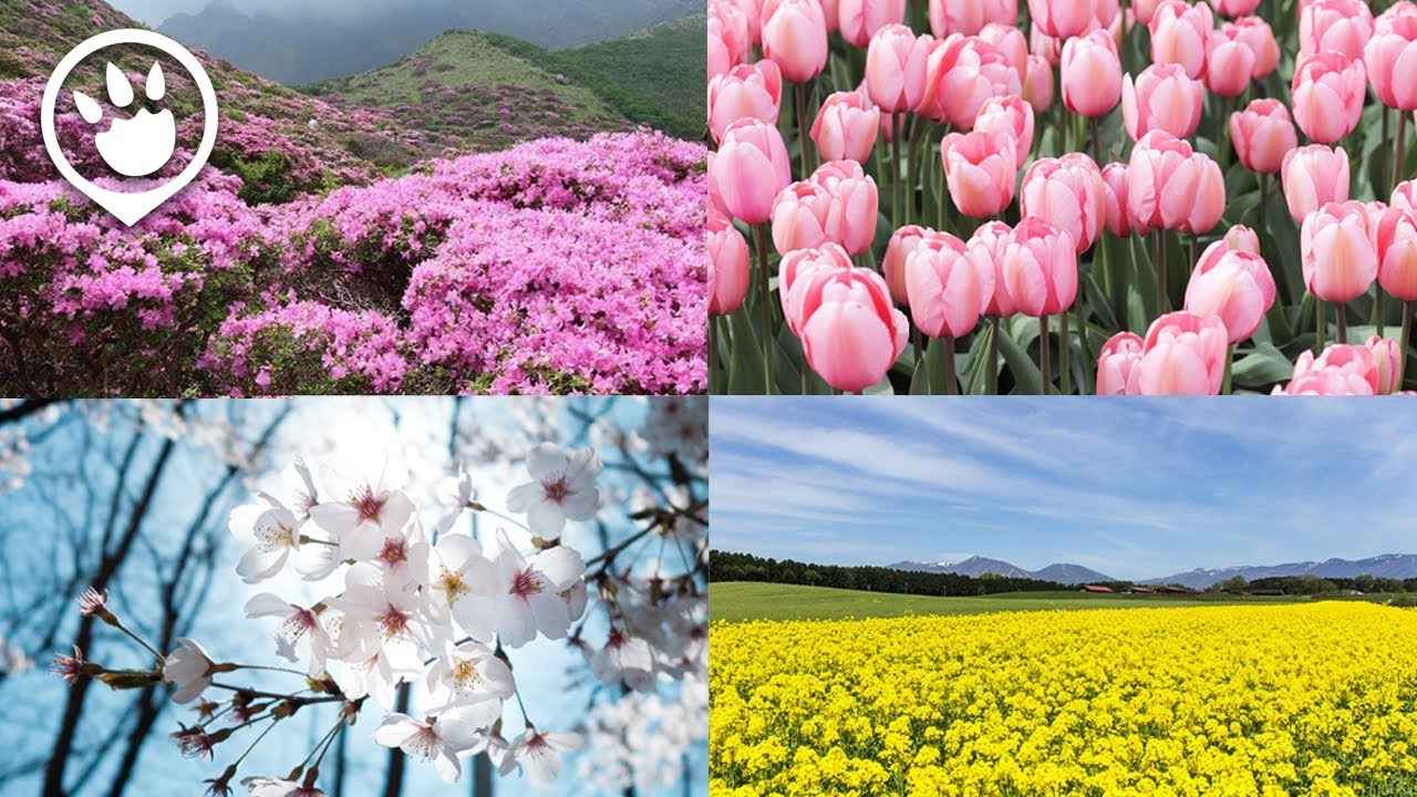 Korea Spring Blooms 2018 Dates Viewing Spots Youtube