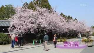 第66回 桜 満開