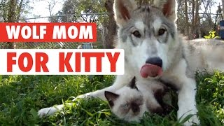 Are You My Mother? || Wolf Mother For Kitten