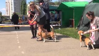 Бигль Чили в юниорах на выставке собак в Харькове.Lucky Girl Chili in junior class at the dog show.(