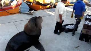 Puerto Mar Del Plata lobo Marino Ladrón.mpg