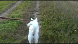 紀州犬の散歩映像。飽きません!