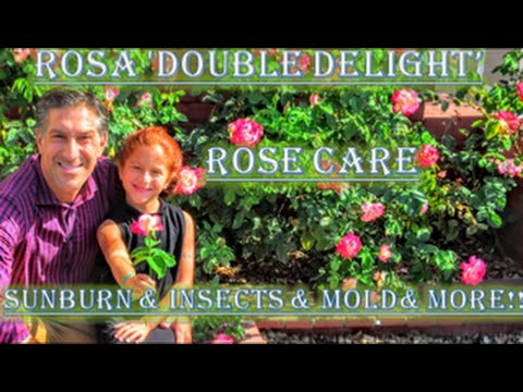 Rosa 'Double Delight' |  Rose Care  |  Sunburn & Insects & Mold & Rust