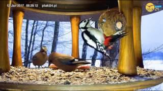 Samica dzięcioła dużego i Sójki w karmniku dla ptaków nad Soliną