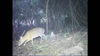 Cận cảnh loài Cheo quý hiếm được bẫy camera quay lại