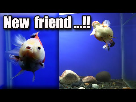 My Goldfish  REACTION  When Meeting A New FRIEND