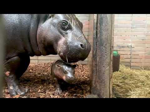 Safari park vítá po 15 letech mládě hrošíka liberijského