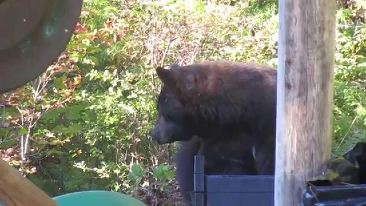 large female black bear in our backyard youtube