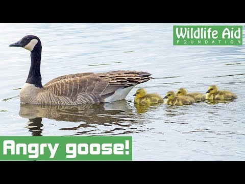 Angry goose reunited with babies!