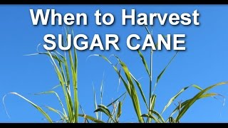 When to Harvest Sugar Cane from Your Garden