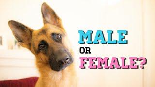 Should I get a male or female German Shepherd?
