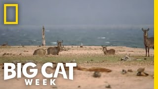 Scent of a Kill | Big Cat Week