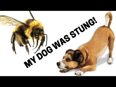 Can A Bee Sting Harm A Dog? How To Identify An Allergic Reaction In Your Dog!