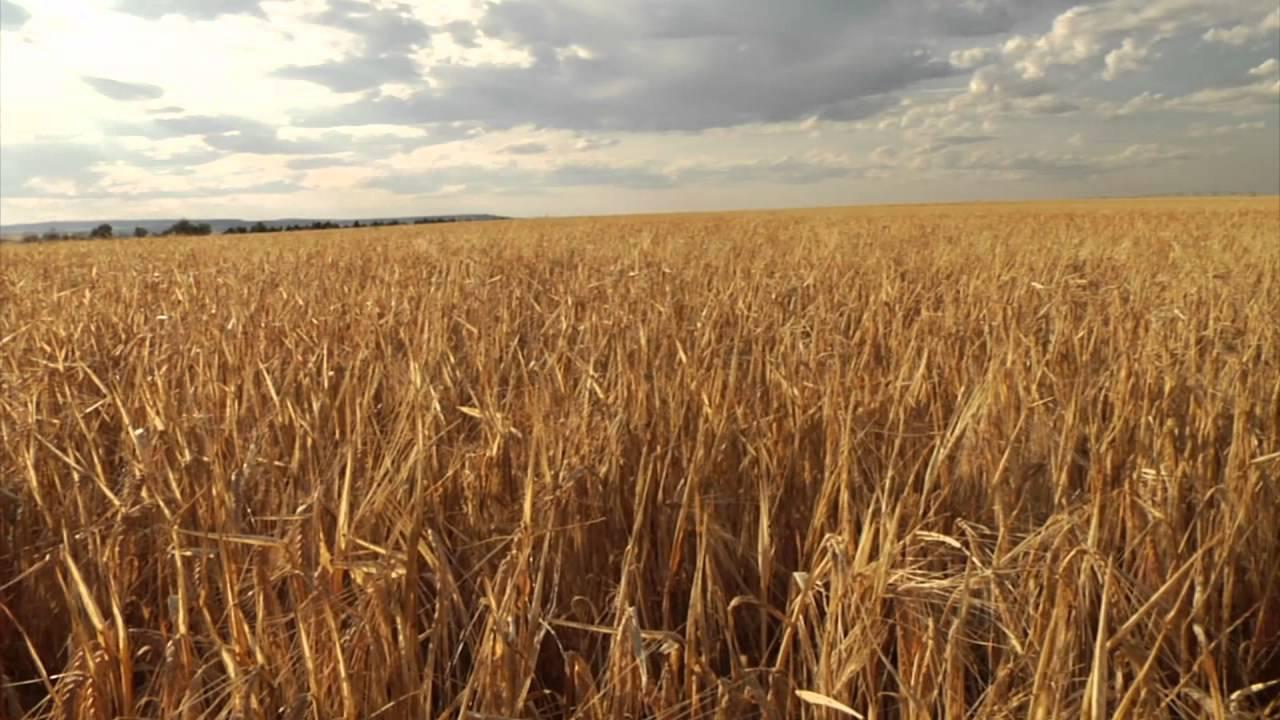 barley fields by nitrok - photo #2