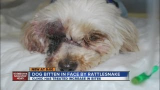 Dog Bit In The Eye By Rattlesnake