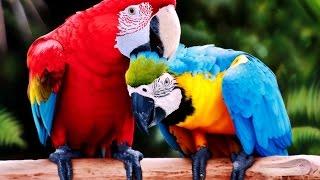 папуга АРА. РУЧНИЙ папуга. Ара - МОВЕЦЬ папуга