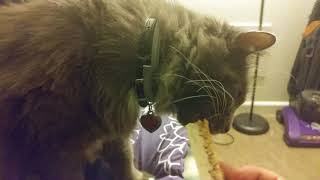 Cat Eats Granola Bar thumbnail
