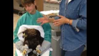 Golden Eagle being treated for lead poisoning at Roseville Clinic