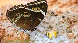 Butterflies of the Atlantic Forest  - Mariposas del Bosque Atlántico
