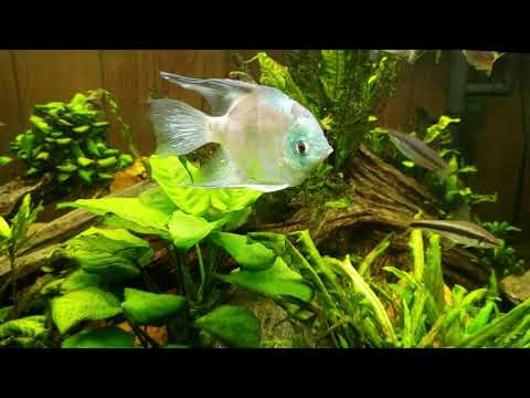 Angelfish And Dwarf Pike Cichlid Keep The Guppy Population Under Control
