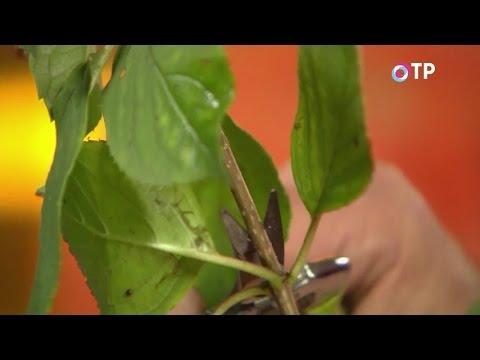Размножение гортензии метельчатой одревесневшими черенками осенью