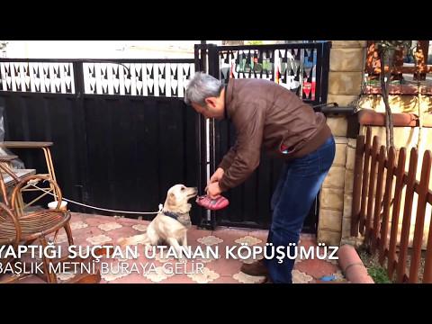 Köpek terlik yırtan köpeğin suçluluk ifadesi