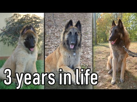 Puppy to 3 Years in Three Minutes | Life with a Belgian Shepherd Dog