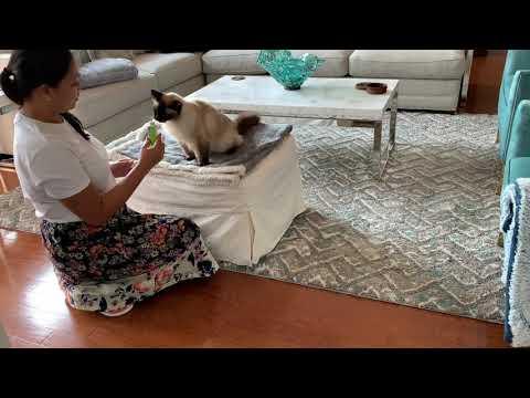 Birman Cat Crazy for Hairball Gel