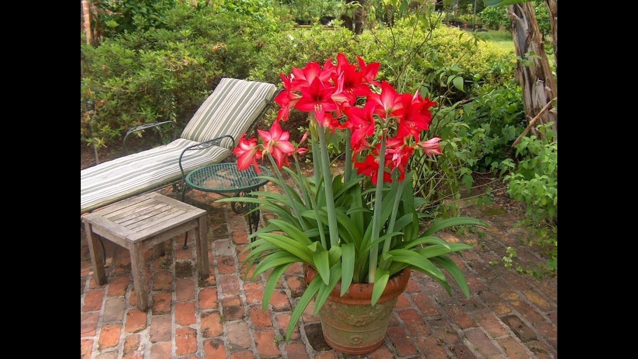 L 39 amaryllis hippeastrum culture plantation taille et for Amaryllis royal red entretien