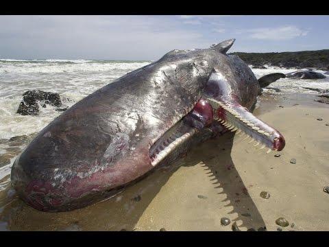 best documentary - white sperm whales - full length documentary